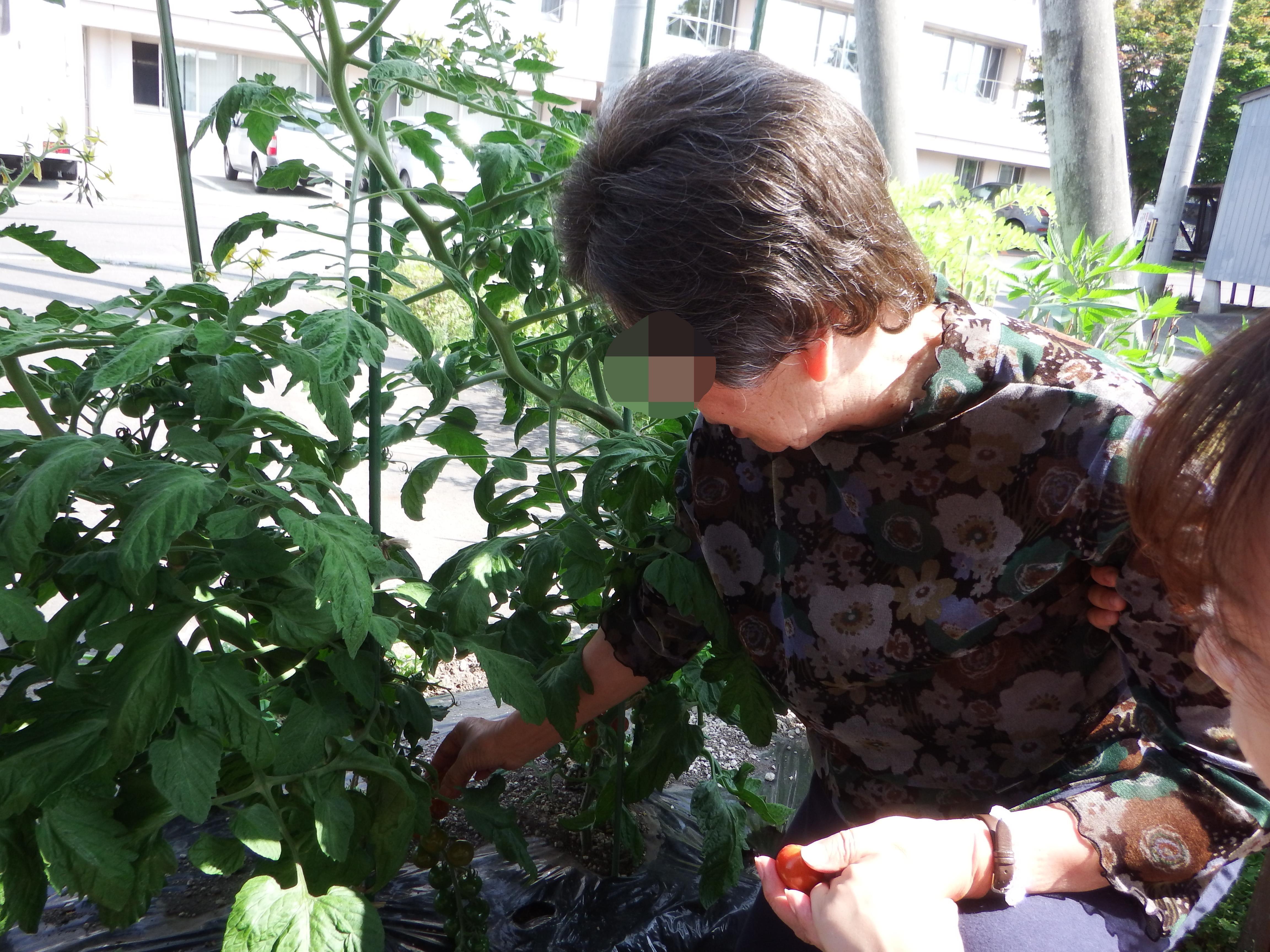 トマト収穫①.JPG